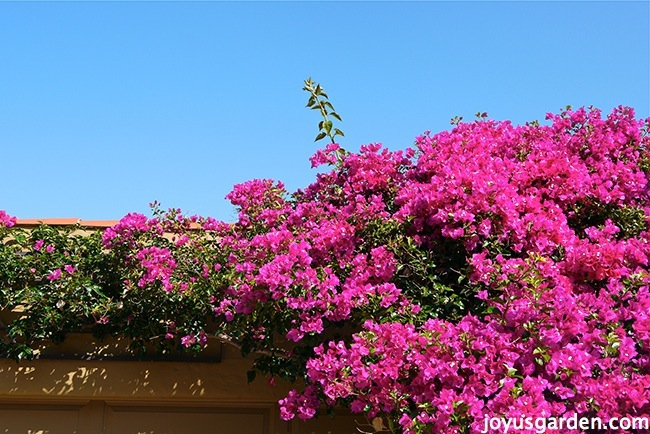 Gorgeous and blooming Bougainvilleas