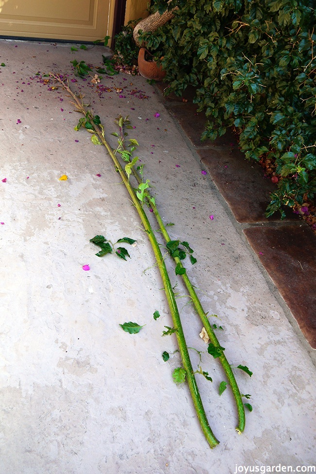 Two of the shoots as I trimmed them off the trunk