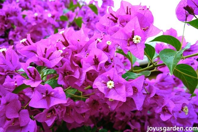 Beautiful blooming Bougainvillea