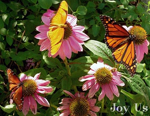 Gorgeous butterflies at the Santa Barbara Natural History Museum