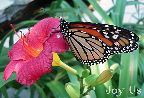 Monarch butterfly on a flower at Santa Barbara Natural History Museum