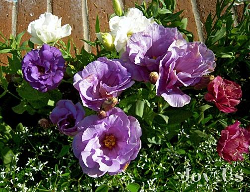 Beautiful purple flowers at Sherman Library & Gardens