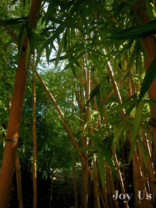 Bamboo in San Diego