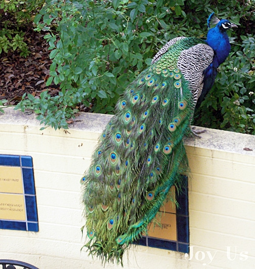 Peacock in Los Angeles County Arboretum & Botanic Garden