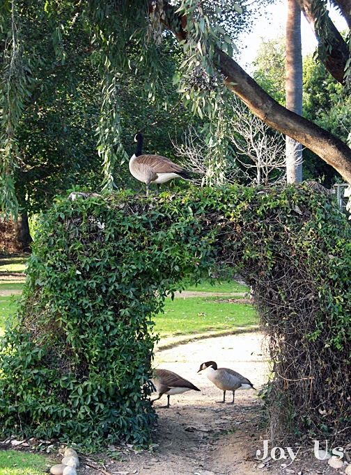 Canadian Geese in the Los Angeles County Arboretum & Botanic Garden
