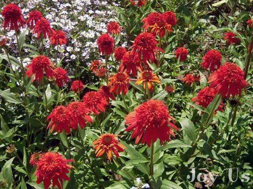 Field of red flowers at Santa Barbara Natural History Museum