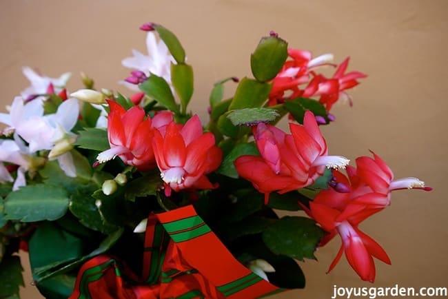 Christmas cactus flowers
