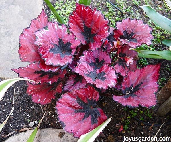 "Rex begonia ""Harmony's Red Robin"""