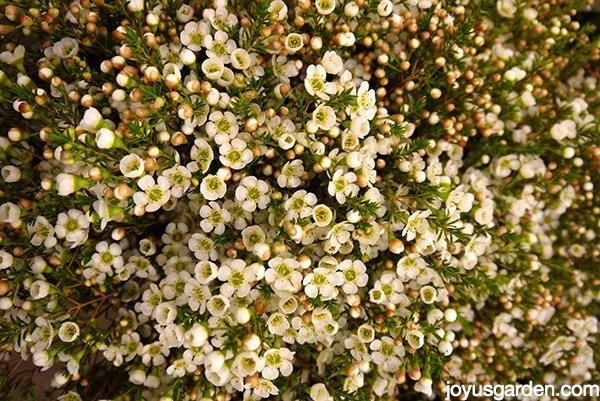 Stunning waxflowers on display