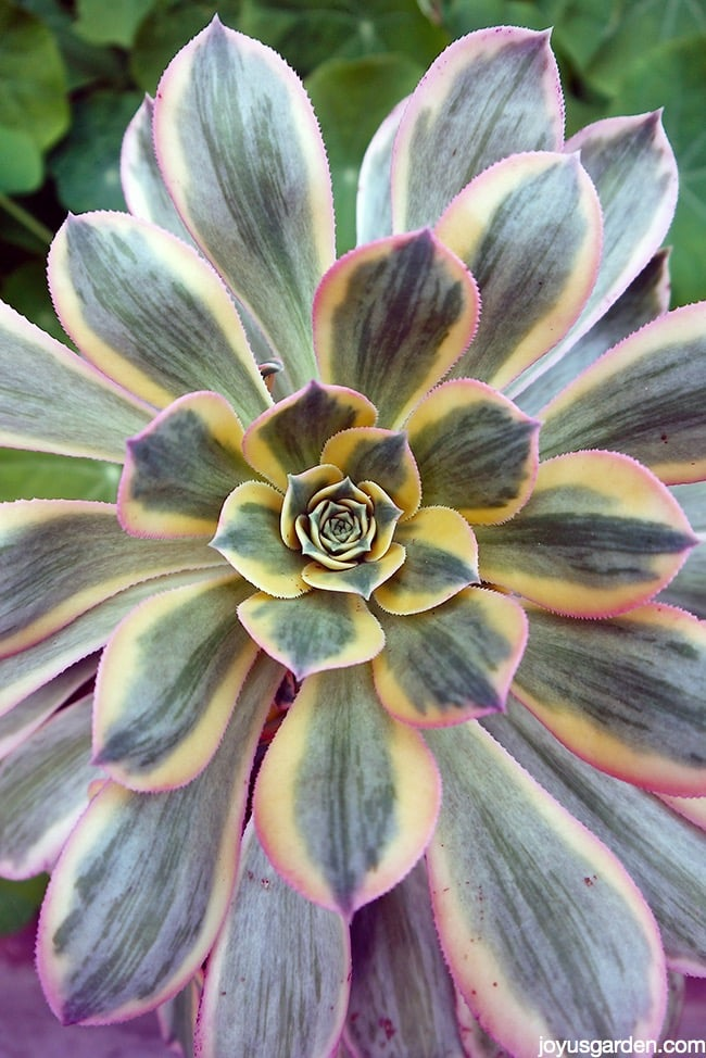 Aeonium Sunburst: A Succulent To Brighten Up The Garden