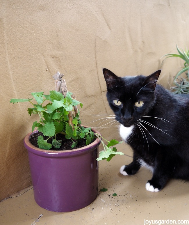 How to grow catnip your cat will love you for Indoor gardening with cats