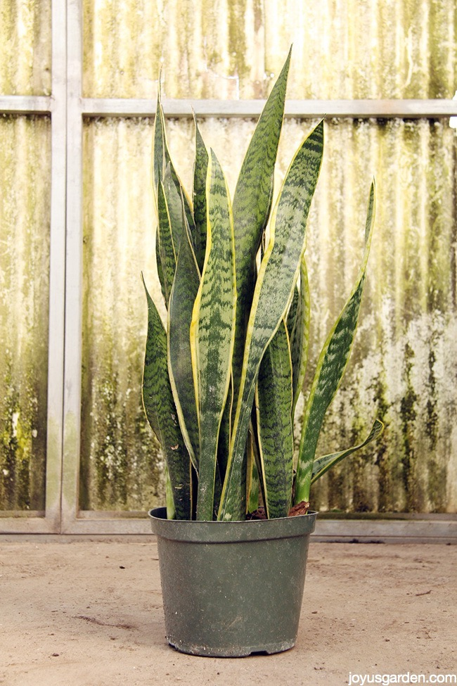 Big and healthy 3 feet tall snake plant in a grow pot, the backdrop is very rustic