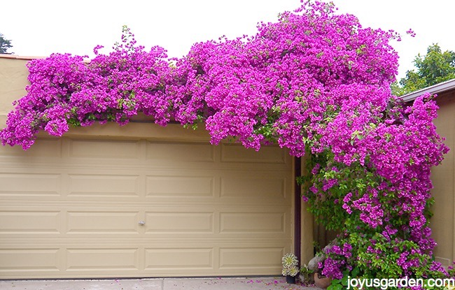 deep magenta pink bougainvillea in full bloom grows up & over a garage