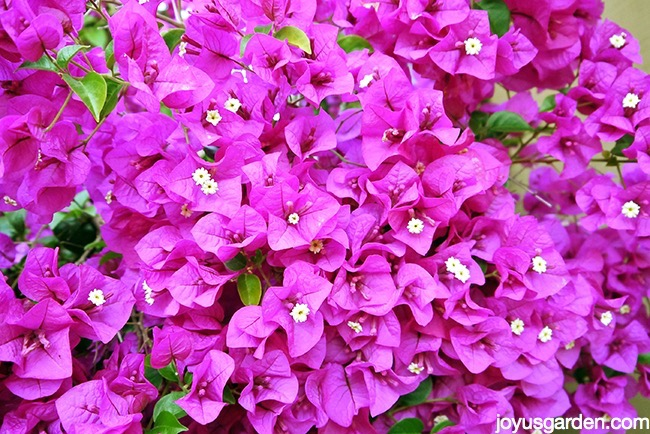 close up of deep magenta pink bougainvillea in full bloom