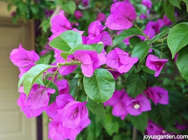 close up of a deep magenta pink bougainvillea that has been tip pruned