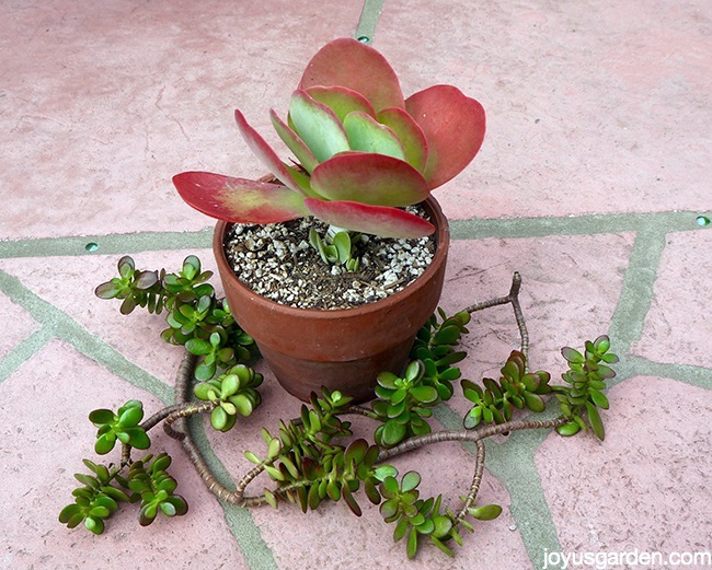 Planting Succulent Cuttings Tips How To Advice