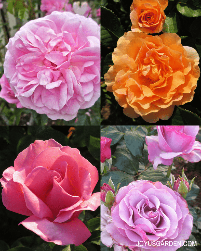 a collage of four roses, one pink rose, one orange rose, one hot pink rose, and one purple pink rose