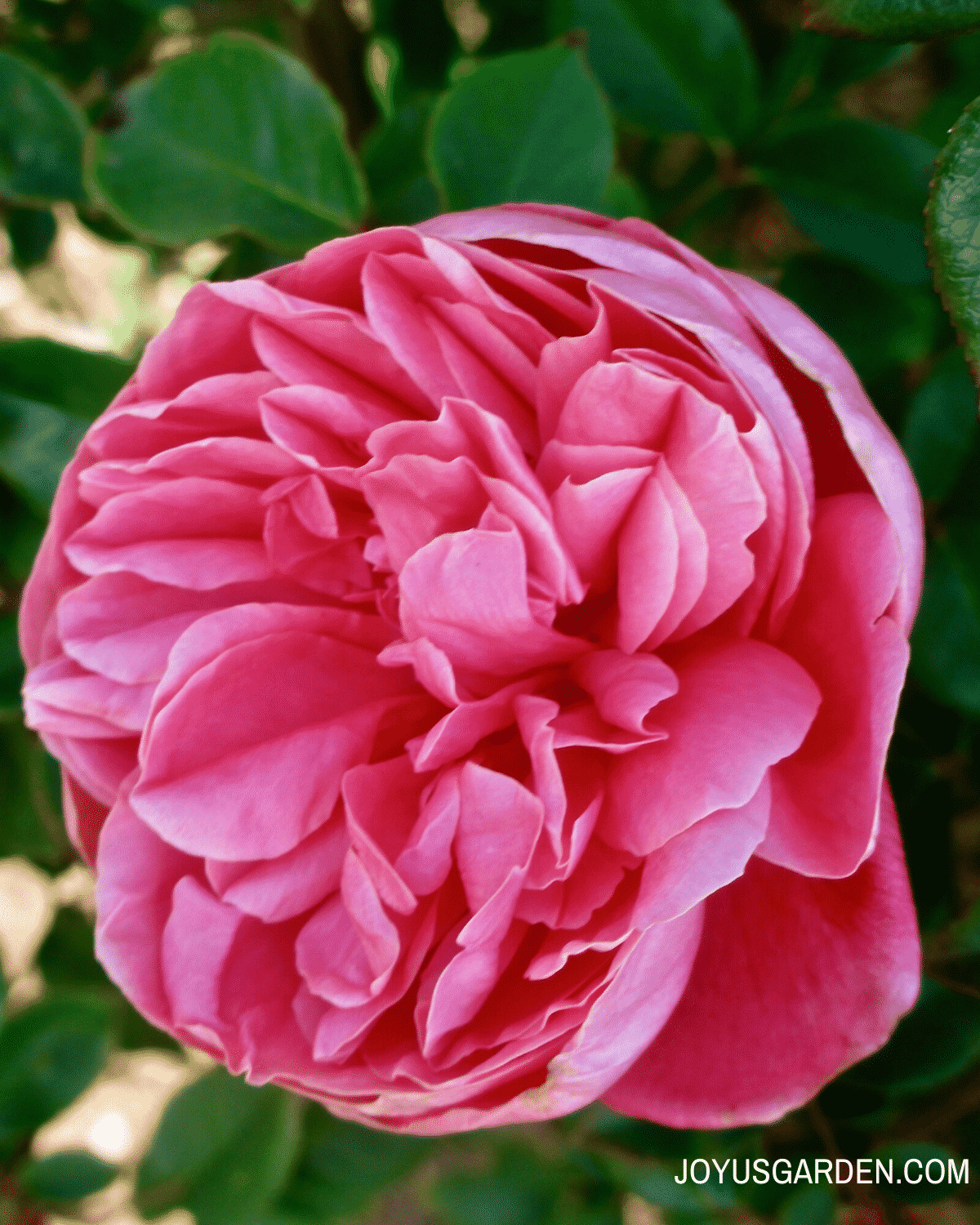 close up of one deep pink rose flower
