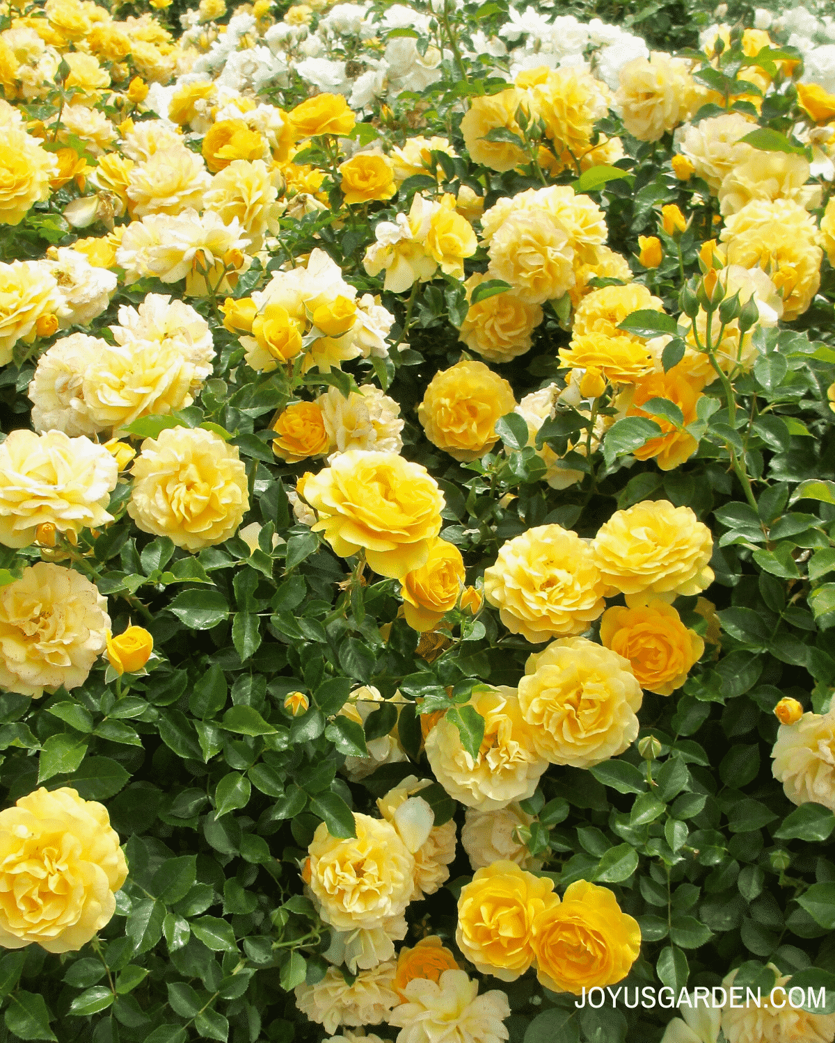 several bushes of  yellow roses with glossy green leaves