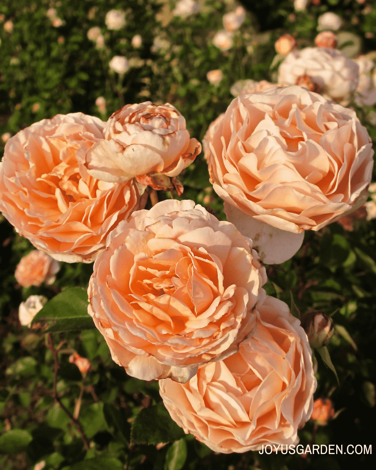 close up of 5 peach colored roses in the sunlight