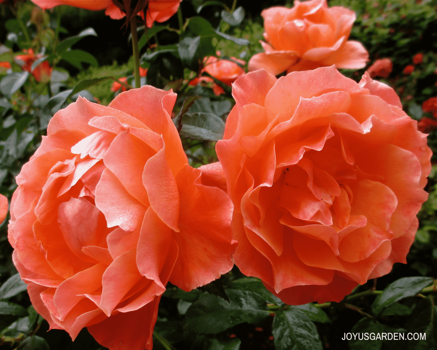 close up of two deep apricot colored rose flowers