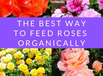 Feed Roses Organically & Naturally