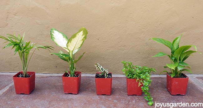 the plant line up above features a neanthe bella palm dieffenbachia variegated ficus pumila babys tears and finally a spathiphyllum - Dish Garden Plants