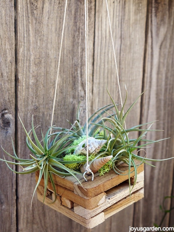 Another Way To Hang Your Air Plants Joy Us Garden