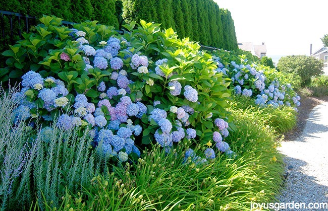 Changing Color Hydrangeas