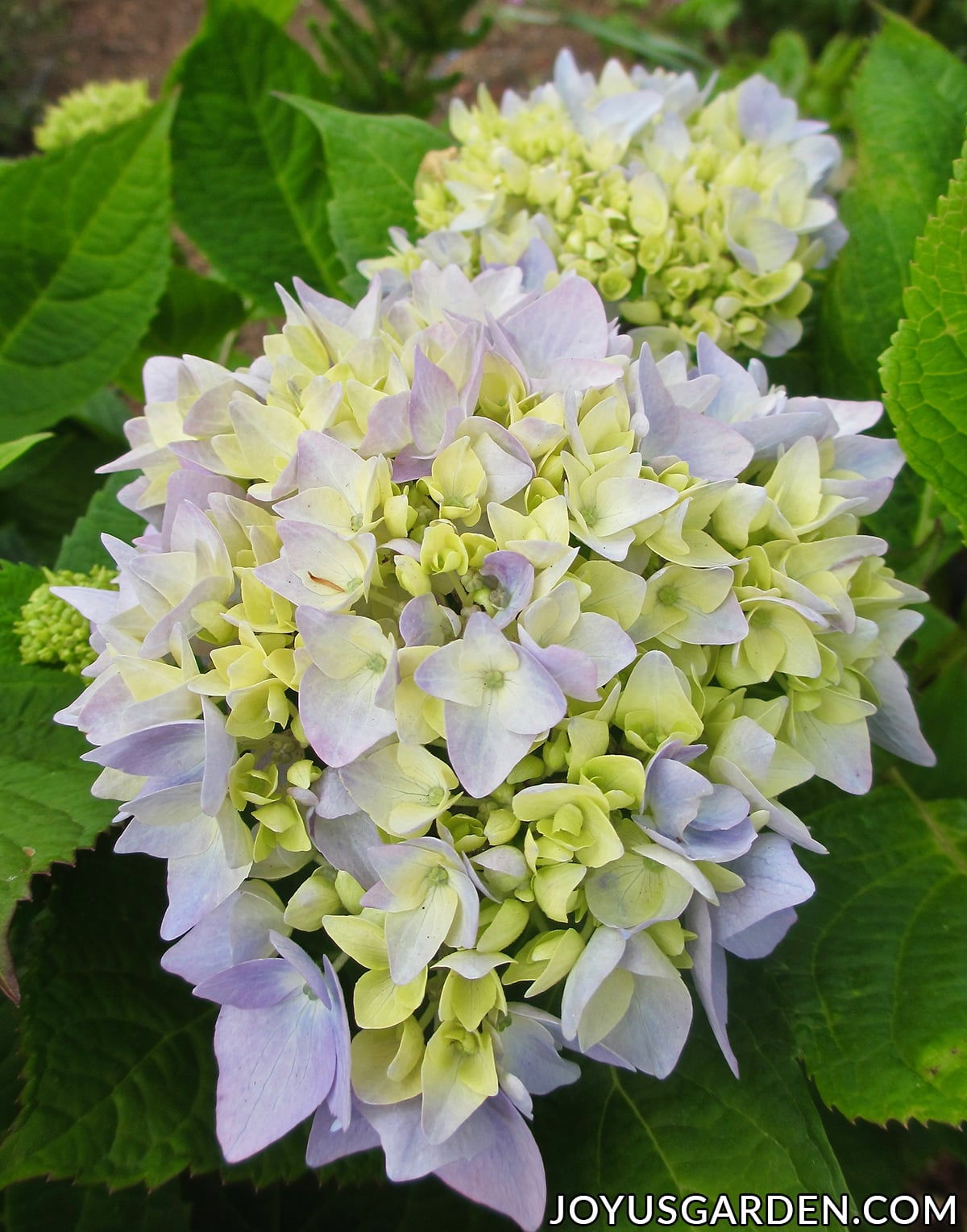 two hydrangea flower heads on a plant both with pale lavender-blue & green blooms