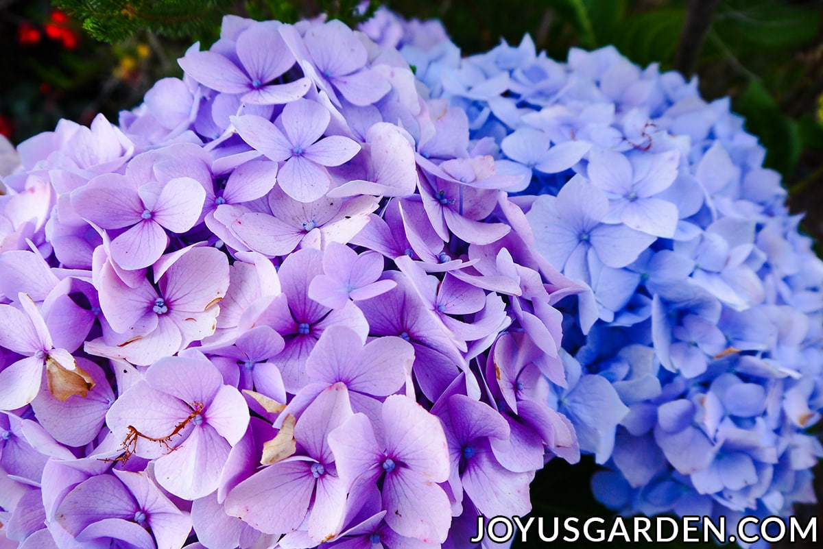 Hydrangea Color Change How To Turn The Flowers Blue