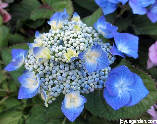 A Beautiful Blue Lacecap Hydrangea As You Can See Blurred On The Edges Some Of Flowers Are Lavender Pink