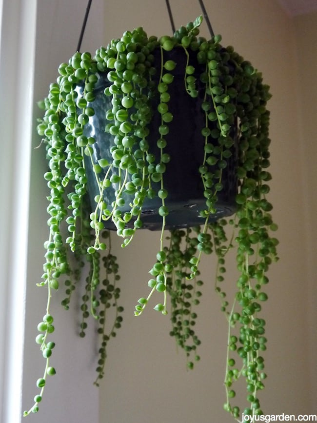 string of pearls this fascinating beauty makes a great. Black Bedroom Furniture Sets. Home Design Ideas