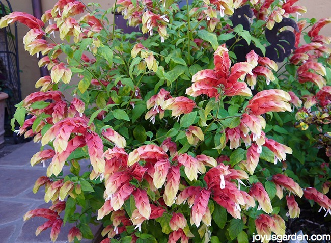 shrimp plant pruning