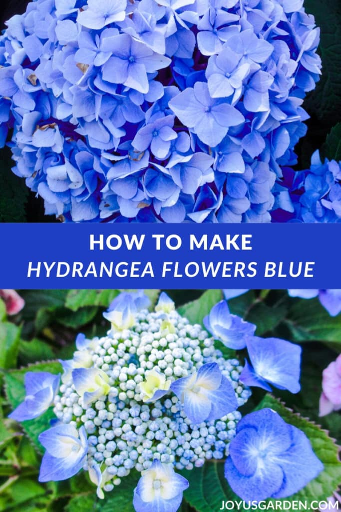 Hydrangea Color Change: How to Turn the Flowers Blue