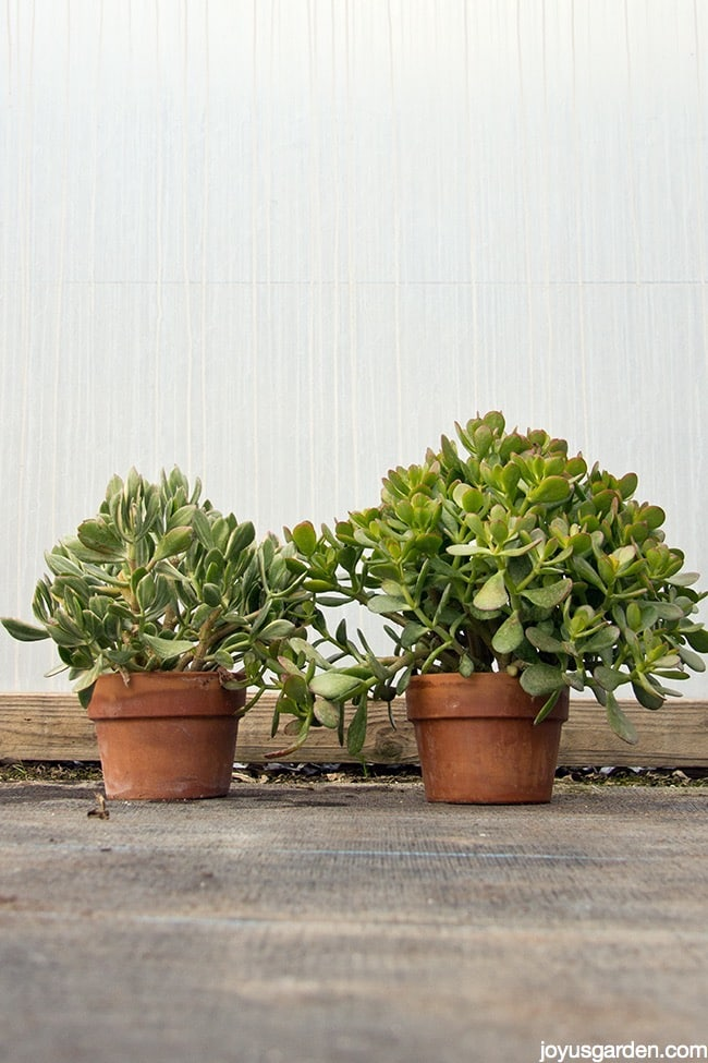 Jade Plants So Easy To Care For In The Home In The Garden