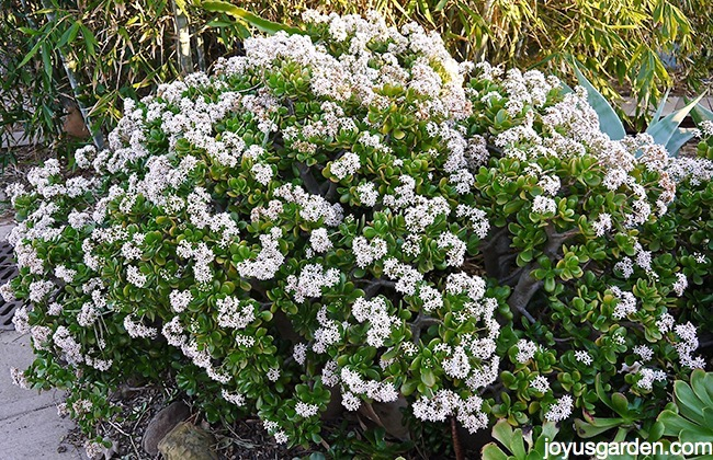 a large jade plants covered in white flowers