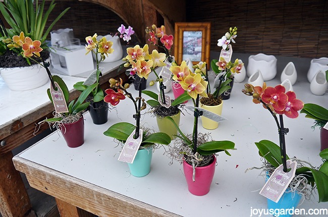 Display Of Miniature Orchids In 1 Our Local Grower S Greenhouse If You Re Ever The Santa Barbara Area Be Sure To Visit Westerlay It