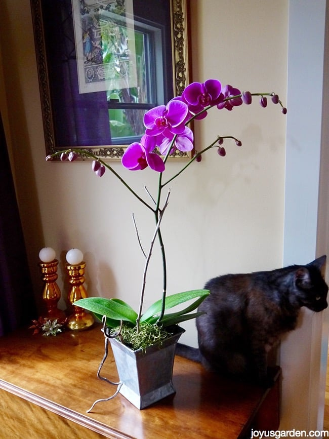 How I Water My Phalaenopsis Orchids