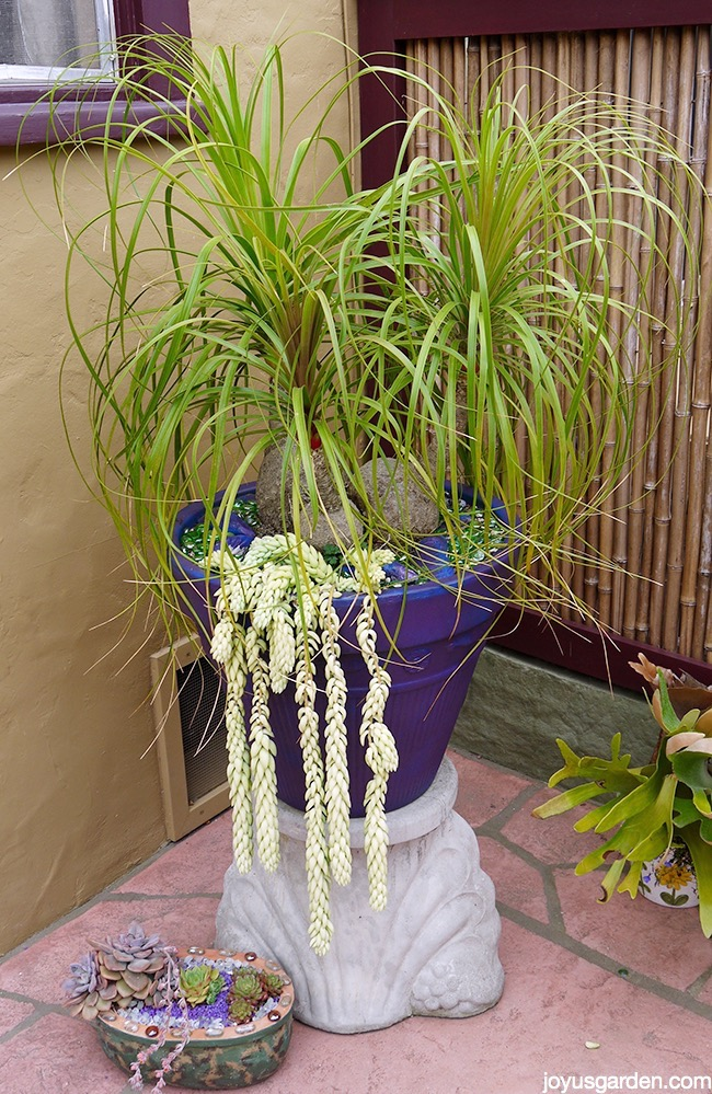 three headed Ponytail Palm with Burro's Tail Sedums at the base planted in a purple pot