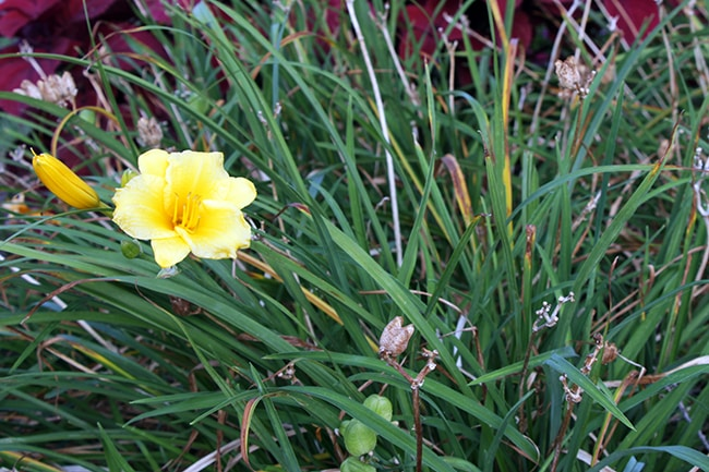 Daylily, flowers for a peace garden