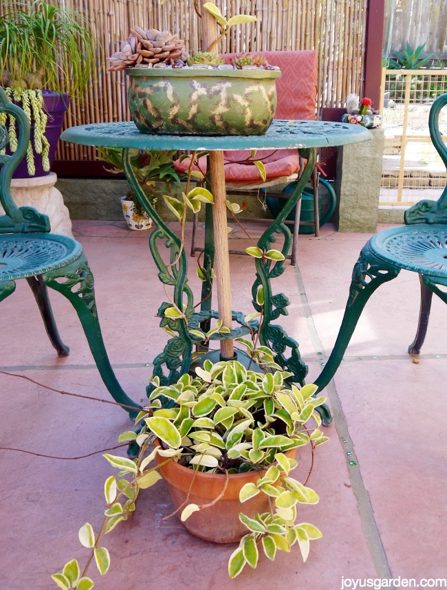 a variegated hoya in a clay pot is growing up the legs of a bistro table on a patio