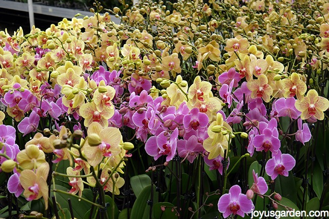 beautiful yellow & lavender phalaenopsis orchids moth orchids in a grower's greenhouse