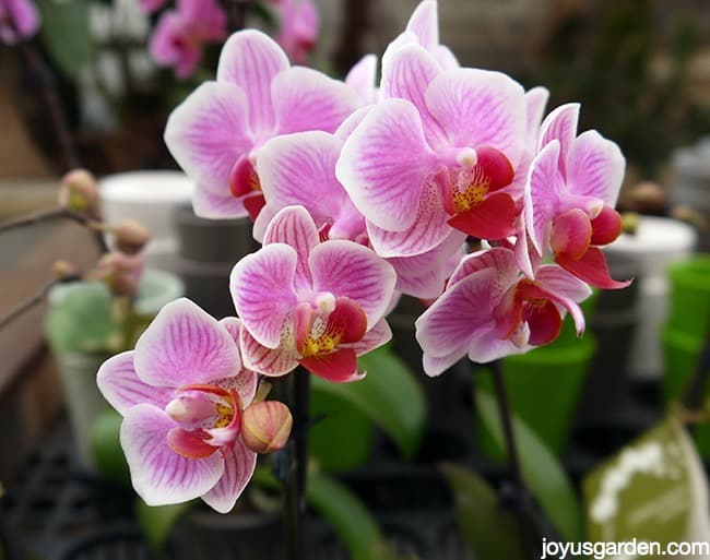 close up of beautiful lavender/white phalaenopsis orchid moth orchid flowers