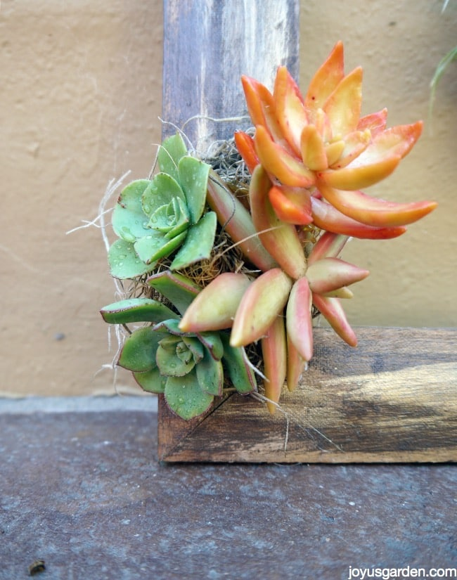 Spanish moss and succulents glued to the frame