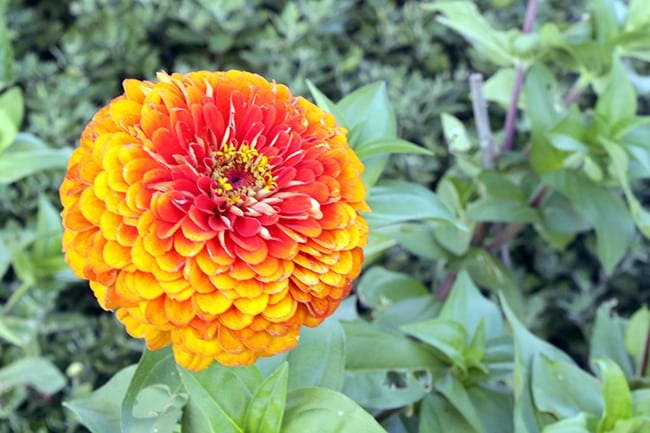 Zinnia, flowers for a peace garden