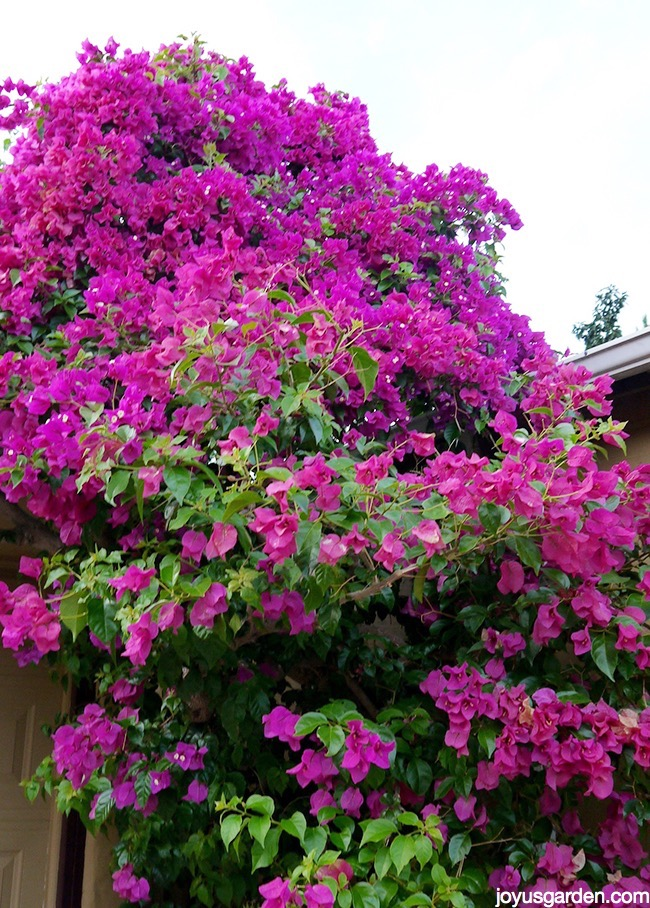 My Bougainvilleas: Fall Color In My Garden