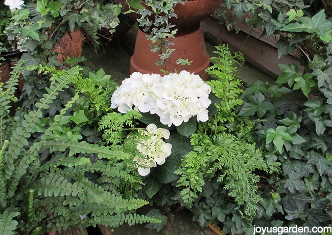 close up up a white hydrangea surrounded by ferns & english ivy