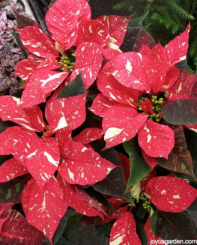 close up of a Jingle Bells Poinsettia plant with red & white flowers