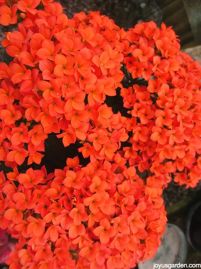 close up of bright orange kalanchoe flowers
